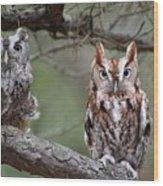 Eastern Screech Owls 424 Wood Print