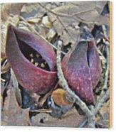Eastern Skunk Cabbage Spathes - Symplocarpus Foetidus Wood Print