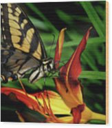 Eastern Tiger Swallow Tail Butterfly Wood Print
