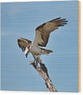Eating Osprey-1 Wood Print by Rudy Umans