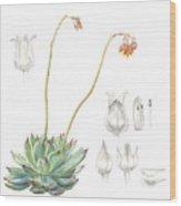 Echeveria Spp. Wood Print