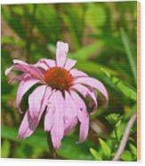 Echinacea 16-02 Wood Print