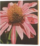 Echinacea Flower Wood Print