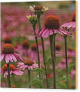 Echinacea Front And Center Wood Print