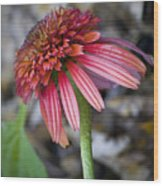 Echinacea Hot Papaya Wood Print