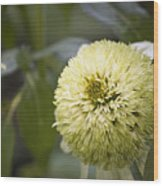 Echinacea Milkshake Wood Print
