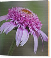 Echinacea Pink Double Delight Wood Print