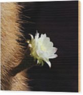 Echinopsis Atacamensis Cactus Flower Wood Print