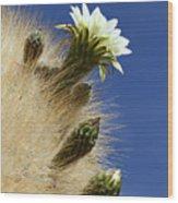 Echinopsis Atacamensis Cactus In Flower Wood Print