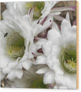 Echinopsis Blossoms  Wood Print