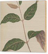 Echites Nutans Wood Print