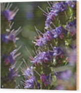 Echium Valley Wood Print