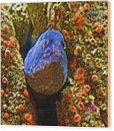 Eel In A Crack Between Two Anemone Worlds In Monterey Aquarium-california Wood Print