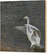 Egret Dance Wood Print