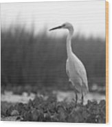 Egret Grazing Wood Print