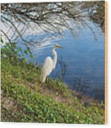 Egret In Florida Color Wood Print