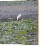 Egret Standing In Lake Wood Print