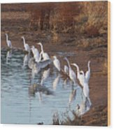 Egrets Gathering For Fishing Contest. Wood Print