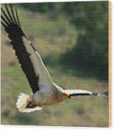 Egyptain Vulture In Flight  Wood Print