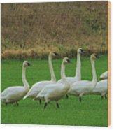 Eight Beautiful Swans Wood Print