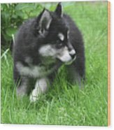 Eight Week Old Alusky Puppy On A Summer Day Wood Print