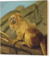 El Paso Zoo - Golden Lion Tamarin Wood Print