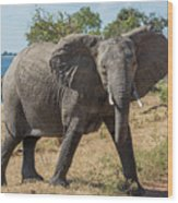Elephant Crossing Dirt Track Facing Towards Camera Wood Print