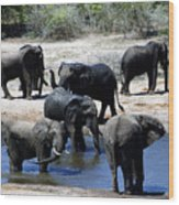 Elephant Pool Wood Print