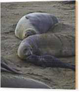 Elephant Seal Mom And Pup Wood Print