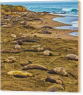 Elephant Seals Near Cambria  Wood Print