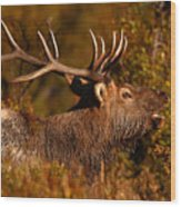 Elk Bull Bugling In Autumn Woodlands Wood Print