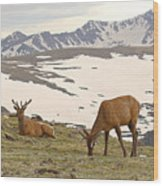 Elk Bulls In The Highlands Of Colorado Wood Print