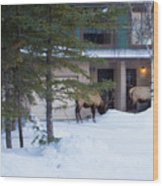 Elk Come Calling Wood Print