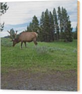 Elk Feeding Wood Print