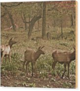 Elk In The Early Morning Wood Print
