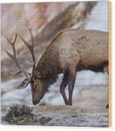 Elk In Yellowstone Wood Print