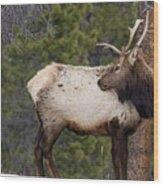 Elk Looking Back Wood Print