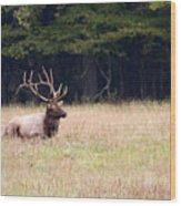 Elk Sitting Down Wood Print
