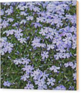 Emerald Blue Creeping Phlox Wood Print