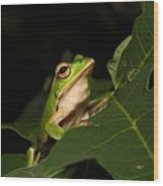 Emerald Eye Tree Frog Wood Print
