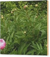 Emergence        Peony         May            Indiana Wood Print