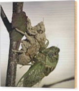 Emerging - Cicada 2 Wood Print