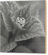 Emerging Hydrangea Wood Print