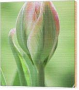 Emerging Ice Cream Tulip Wood Print