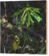 Emerging Mayapples Buffalo National River Wood Print