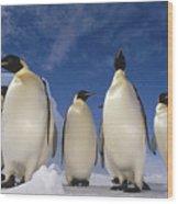 Emperor Penguins Antarctica Wood Print