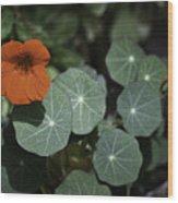 Empress Of India Nasturtium Wood Print