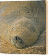Endangered Monk Seal Takes A Siesta At Poipu Beach. Wood Print