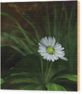 English Daisy Wood Print