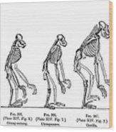 Ernst Haeckel, Evolution Of Man, 1879 Wood Print